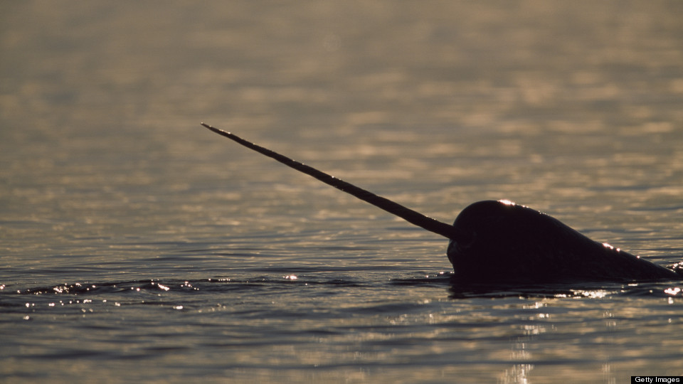 Narwhals: The Arctic Unicorns Of The Sea