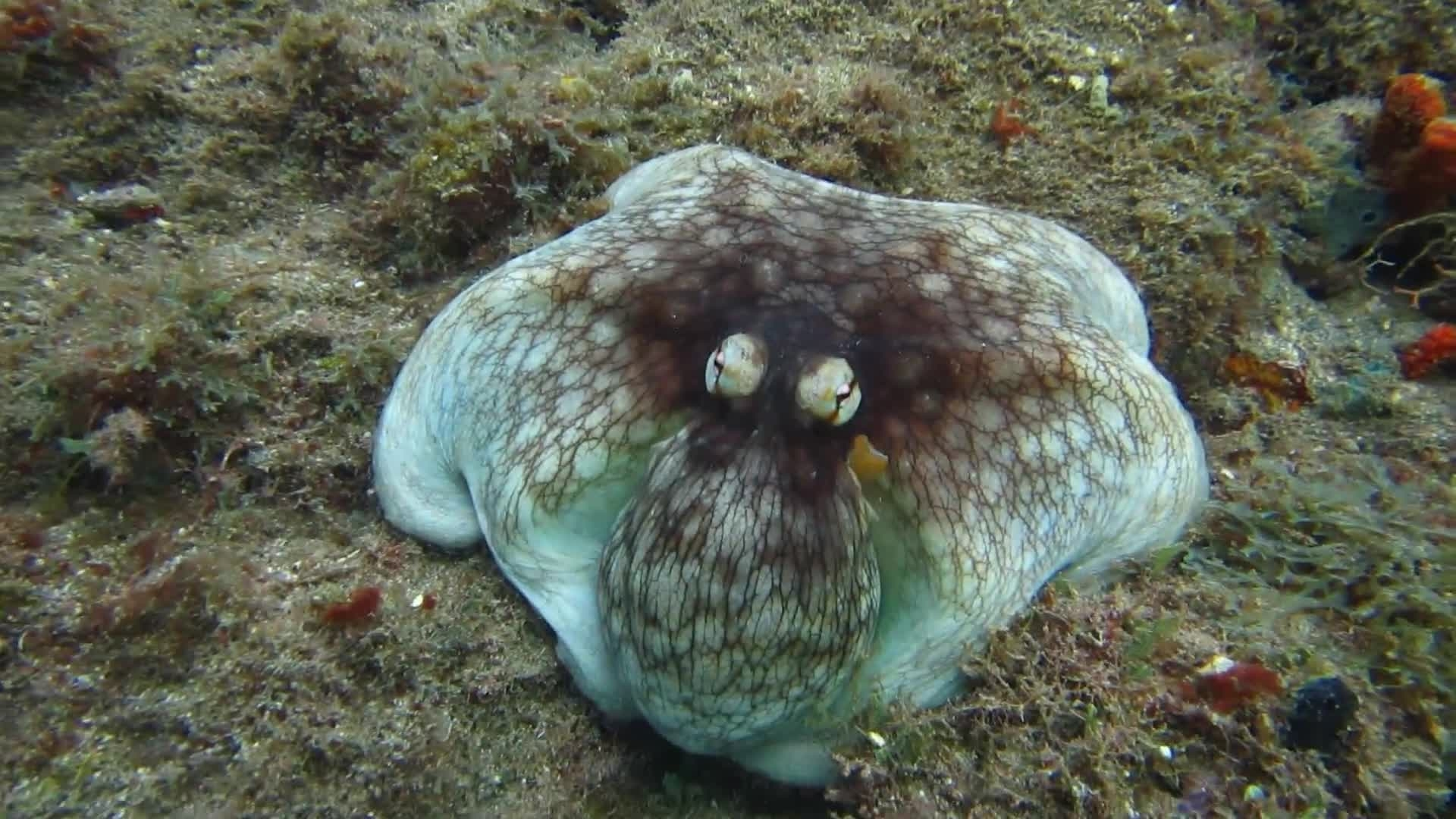Octopus Emerges from Reef Camouflage