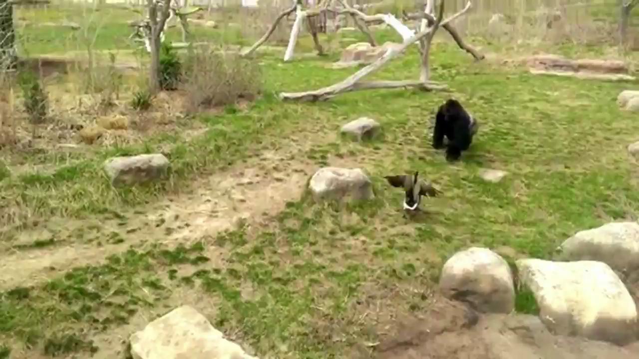 Goose Chases Gorilla