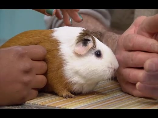 What to Feed Your Pet Guinea Pig