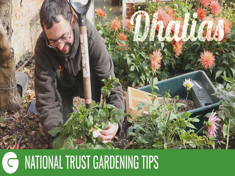 National Trust Gardening Tips: Dahlias
