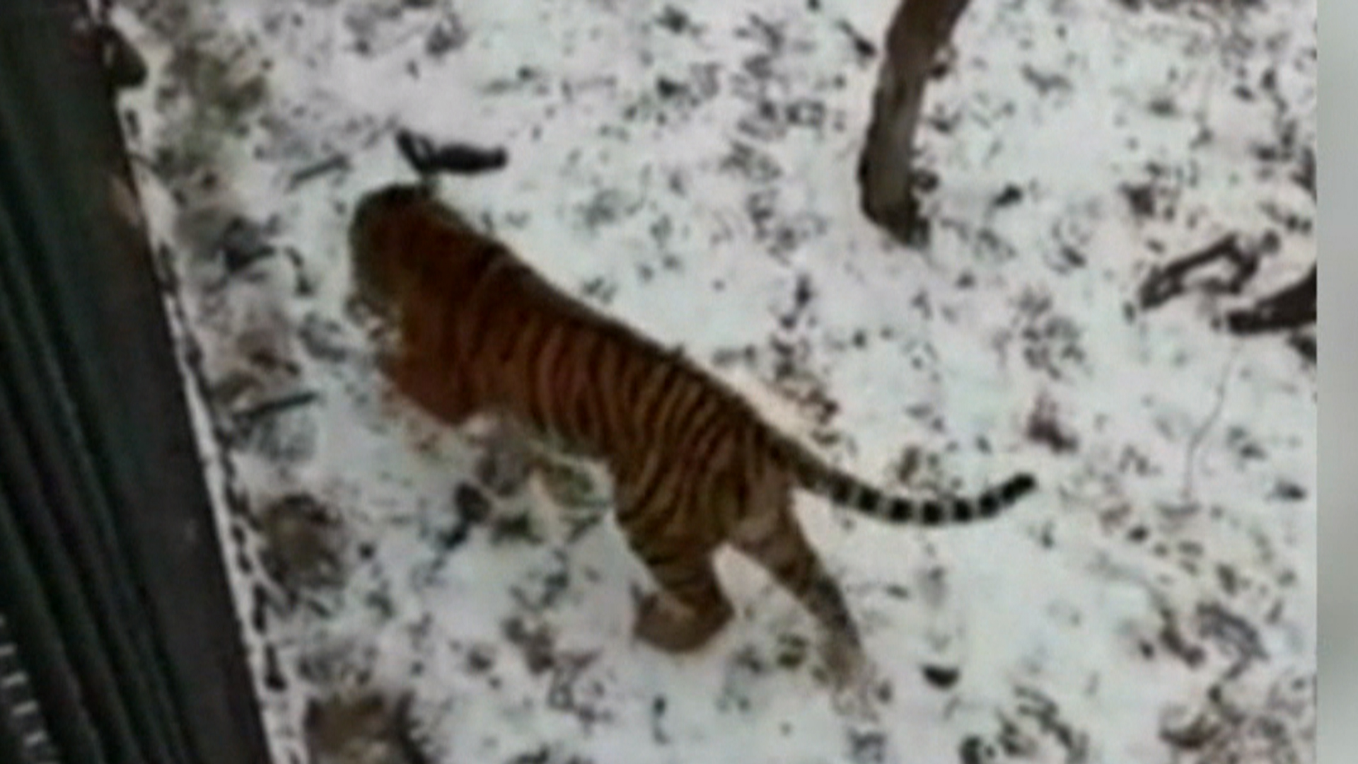 Goat Shows Tiger Who Is Boss at Russian Zoo