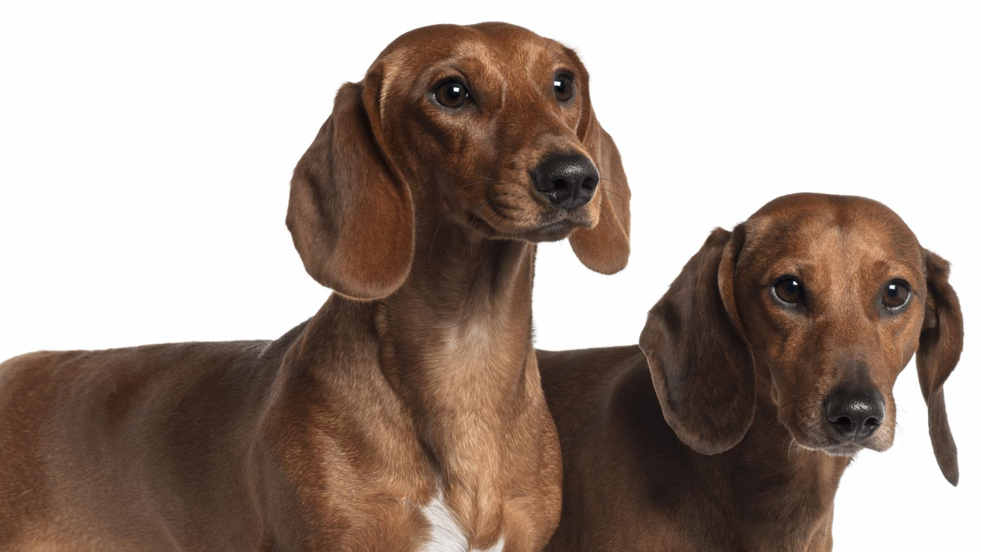 Dog Walks 6 Miles To Be With His Dachshund Love
