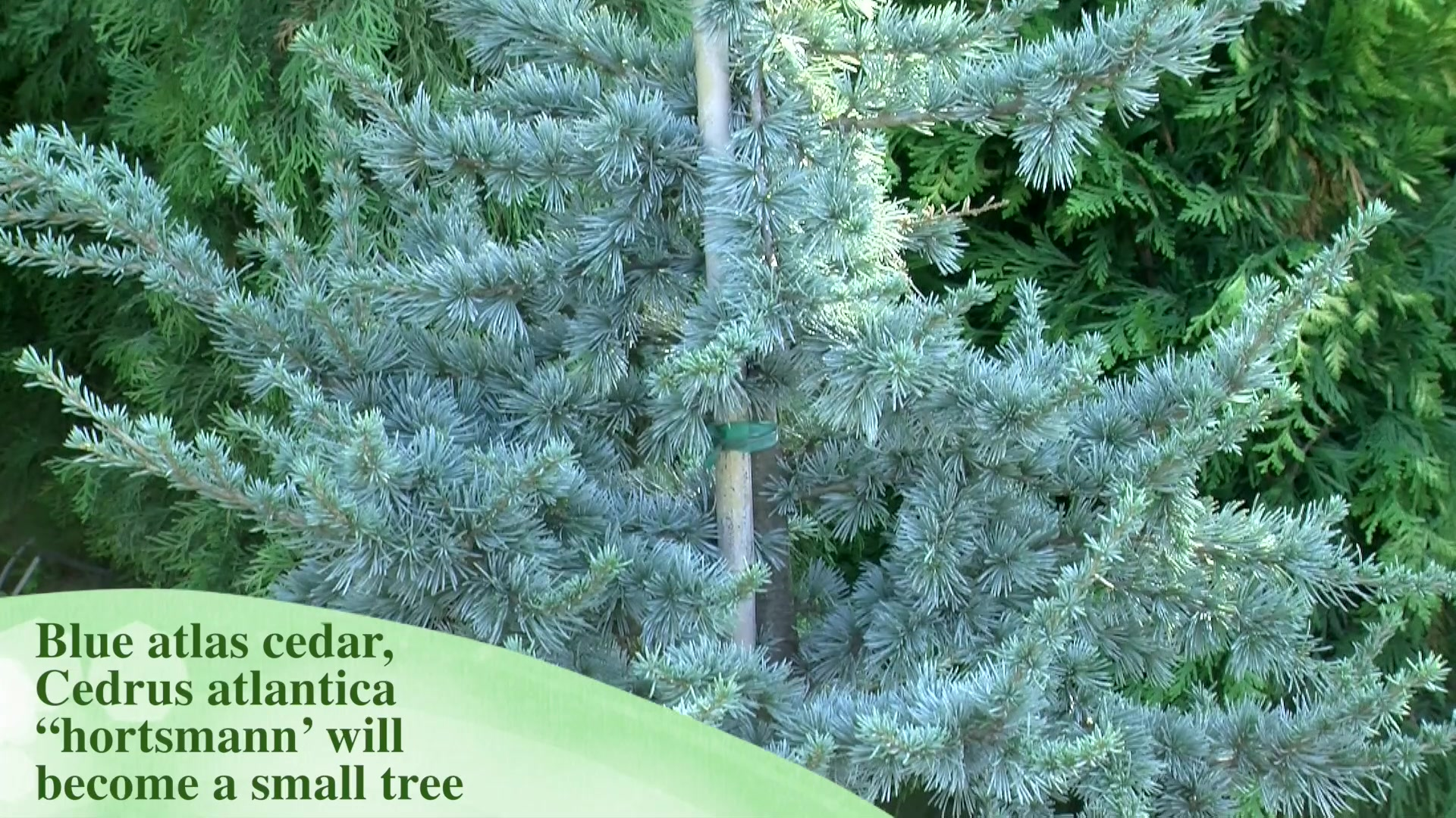 Selecting the Right Blue Evergreen Conifer for Your Yard