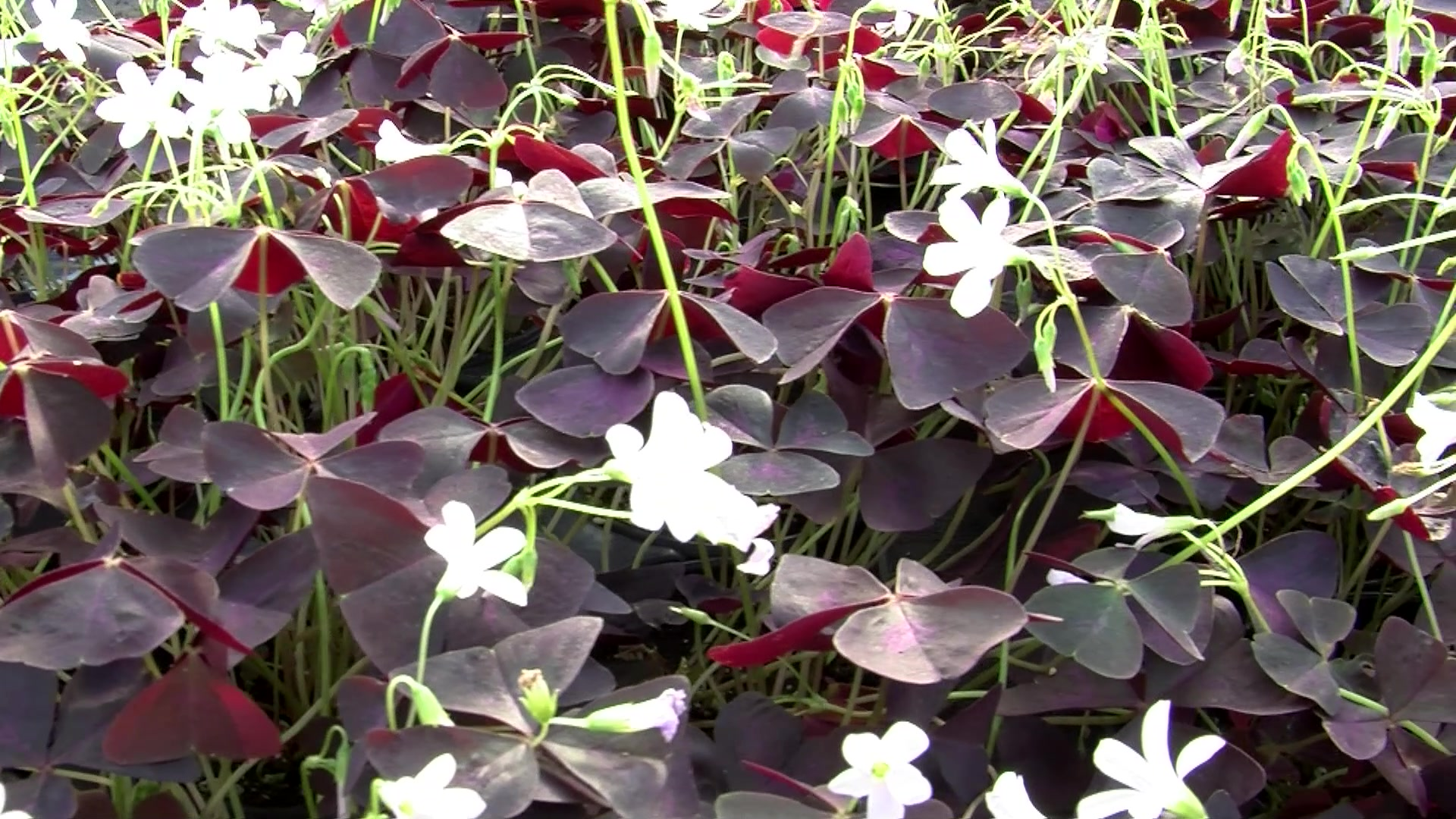 Proper Caring for Oxalis