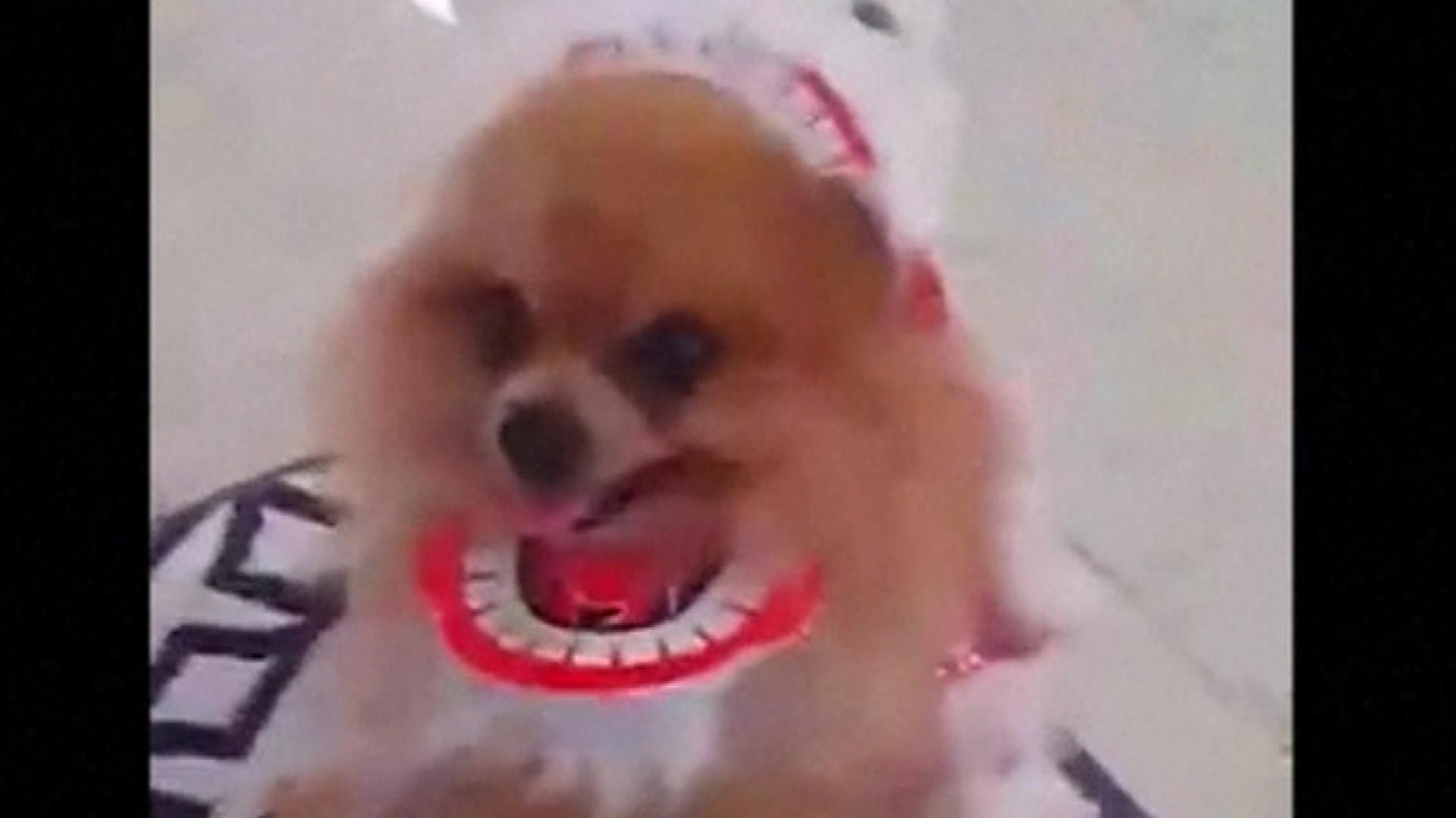 Watch Cute Pomeranian Perform Chinese Lion Dance