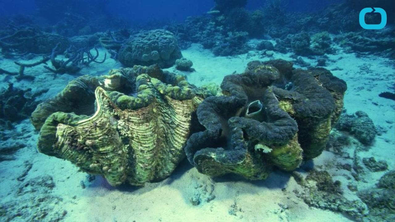 Ivory Ban Causes Vanishing Giant Clams in China