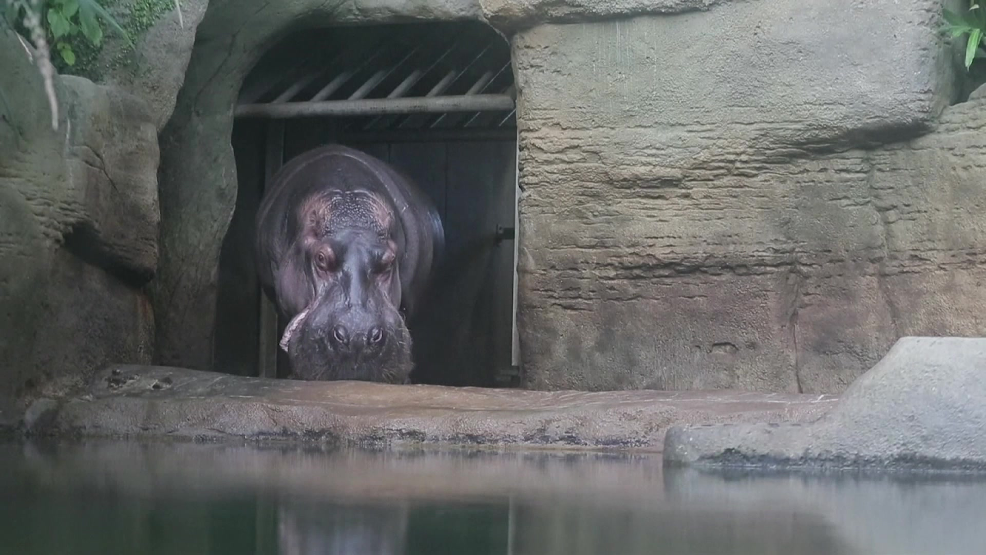 Raw: Baby Hippo Makes a Splash at Czech Zoo