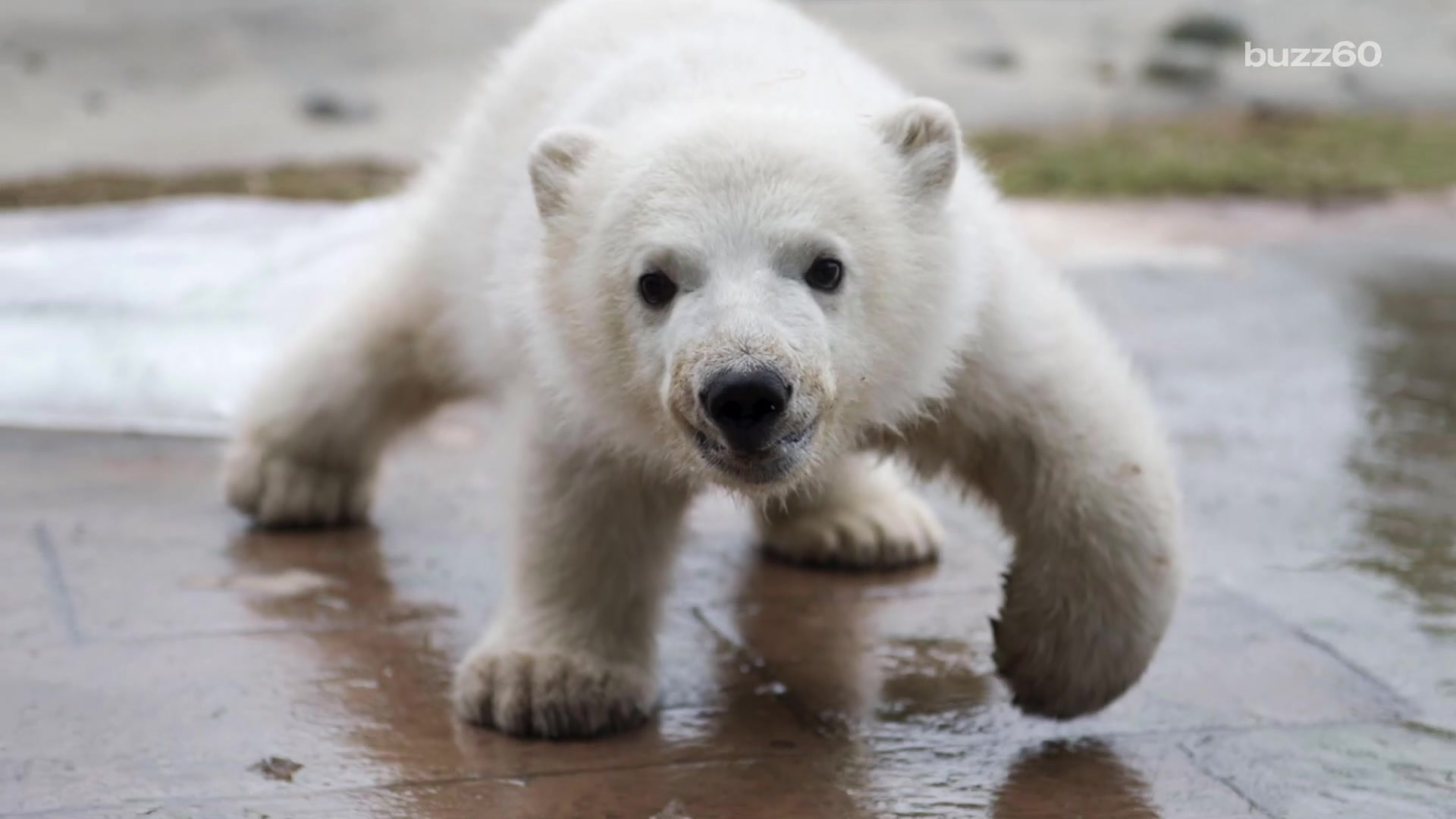 Meet Juno, the Toronto Zoo's Adorable Baby Polar Bear