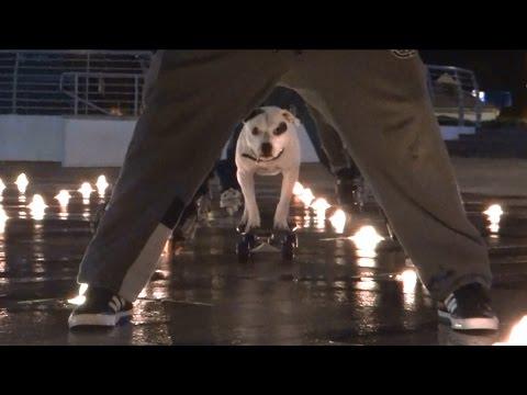 Staffordshire Terrier Has Impressive Skateboarding Skills