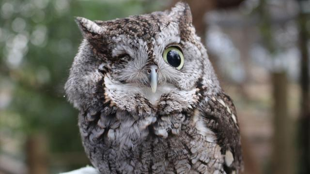 One-Eyed Owl Becomes Newest Internet Star