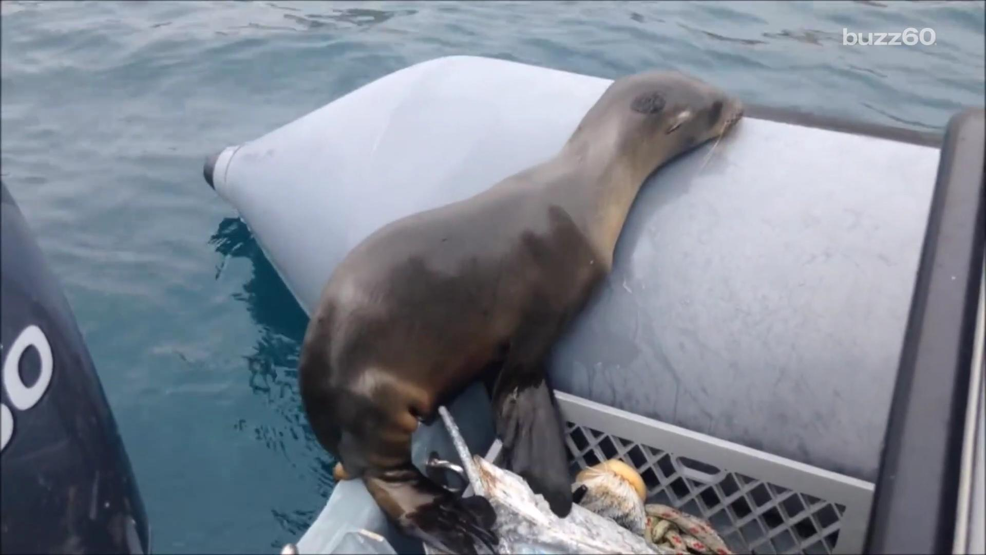 Sea Lion Pup Jumps Aboard Boat to Catch Some Rays