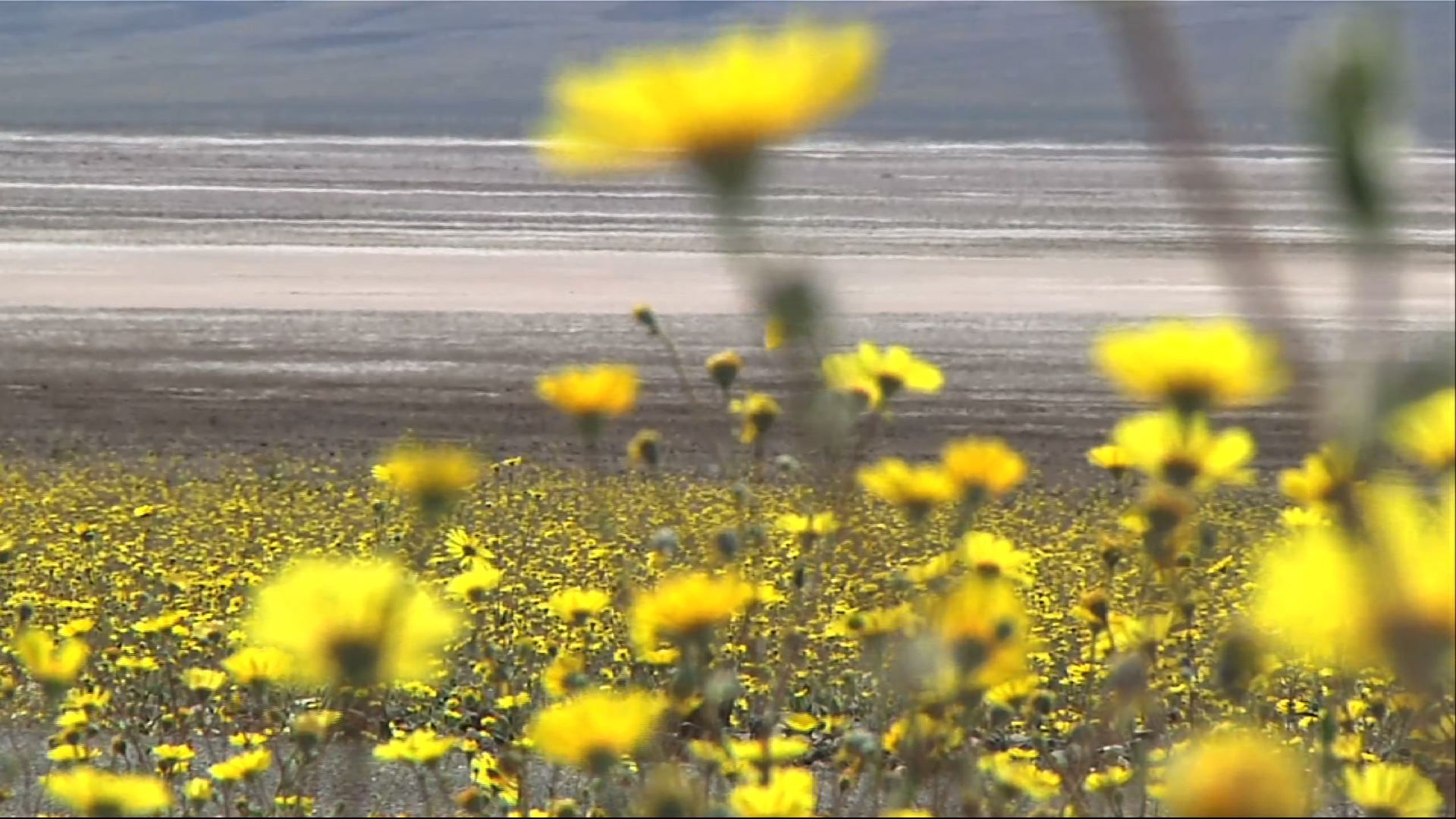 Rare 'Super Bloom' Carpets Death Valley in Gold