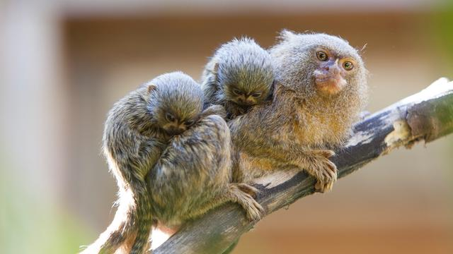 Viral Video Shows Babies Of World's Smallest Monkeys