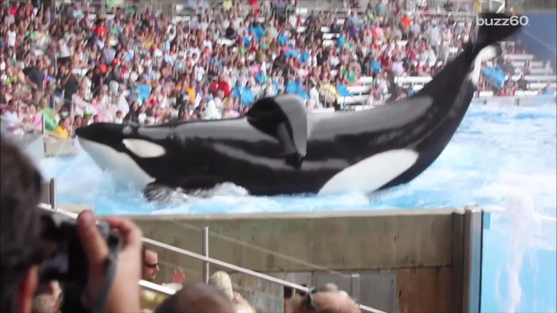 SeaWorld's Killer Whale and Star of 'Blackfish Is Dying