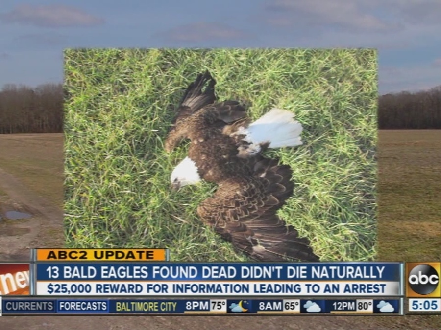 Report: Natural Causes Ruled Out in Deaths of 13 Bald Eagles