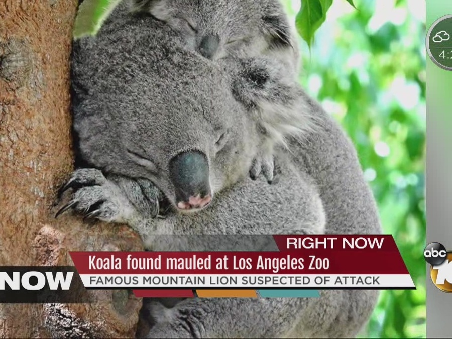 Famous Mountain Lion Suspected in Death of Koala at LA Zoo