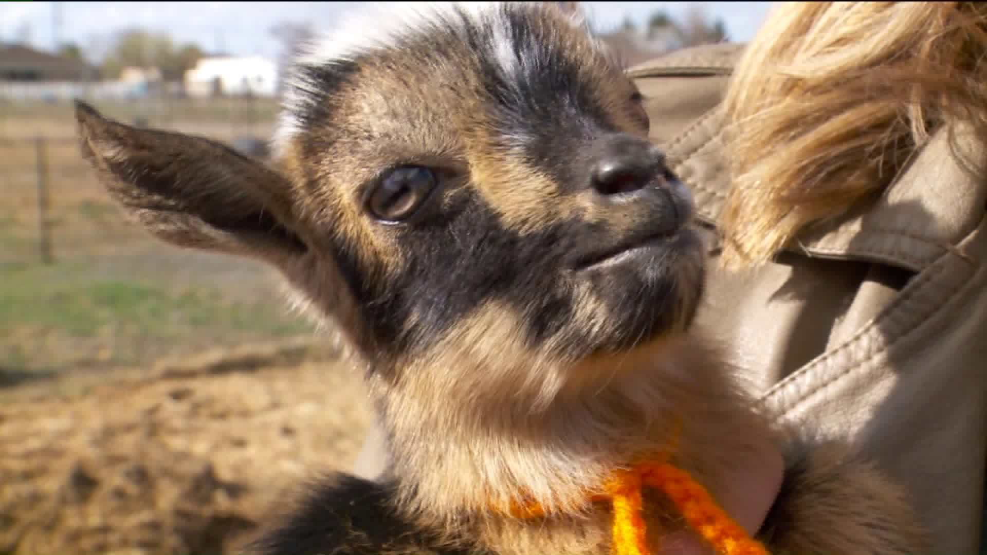 Goat Litter Ties World Record With Six Kids
