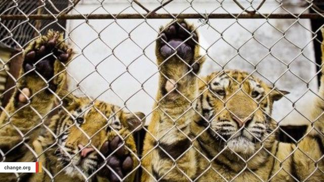 Chinese Tigers Being Farmed In Horrific Conditions To Make Aphrodisiac Wine