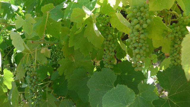 How Climate Change Has Been Affecting Wine Grape Harvests