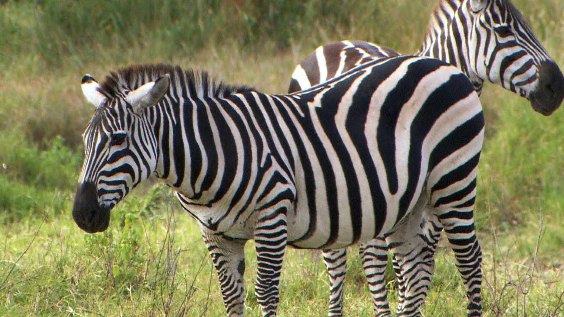 'The Quick and the Curious': Are Zebras Black or White?