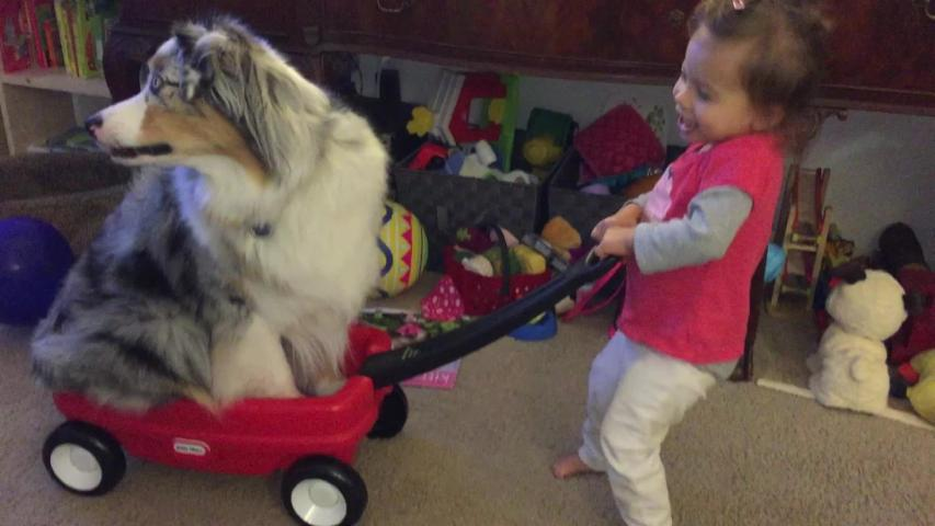 Giggling toddler pulls Australian Shepherd in toy wagon