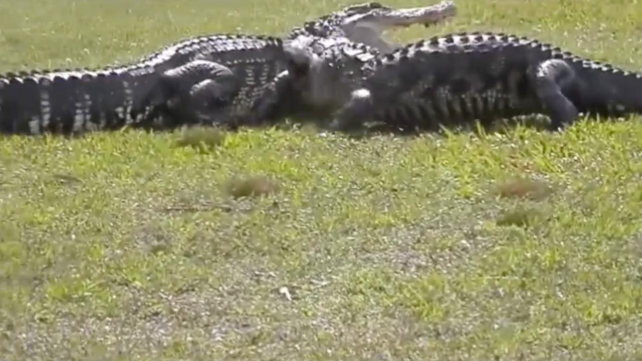 Video Of Two Alligators Fighting On Florida Golf Course Goes Viral