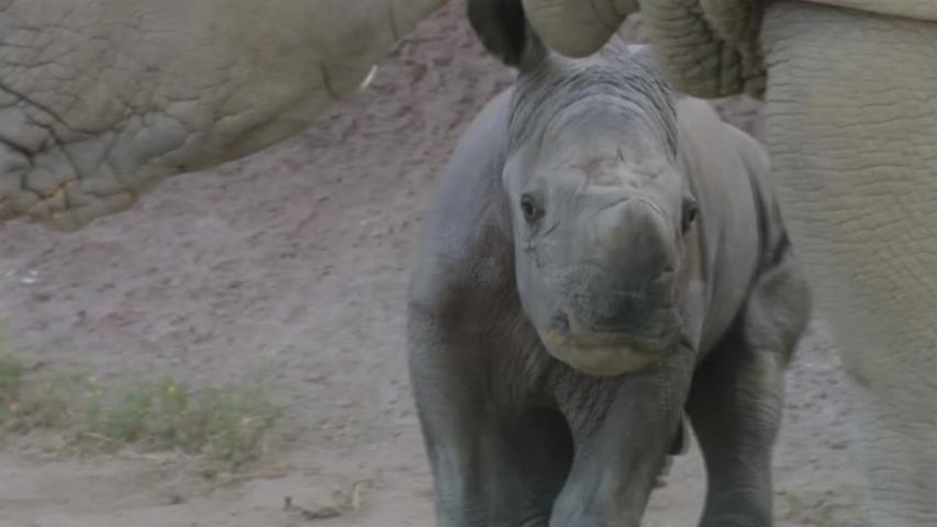 Newborn southern white rhino calf explores habitat under mother's watchful eye