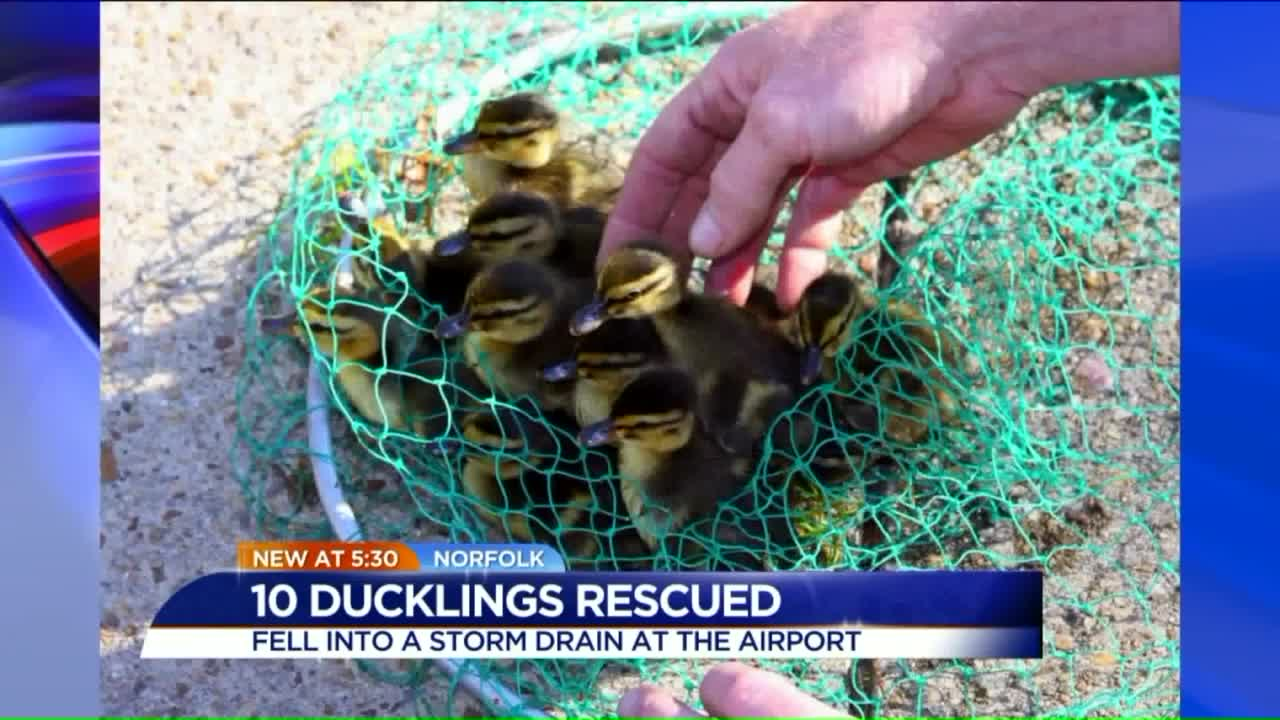 10 Baby Ducklings Rescued From Storm Drain At Airport