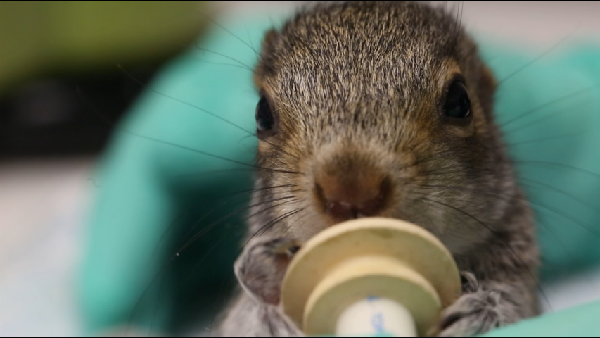 The delicate process of rehabilitating injured squirrels