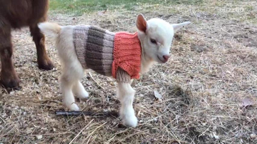 Baby Goats Wearing Tiny Sweaters Are Too Cute To Miss