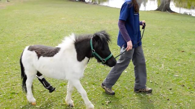 After Dog Attack, Prosthetic Hoof Gives Miniature Horse A New Lease On Life