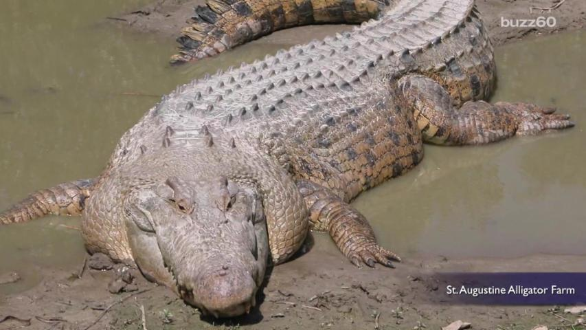 Woman Keeps Giant Crocodile as Pet for 60 Years