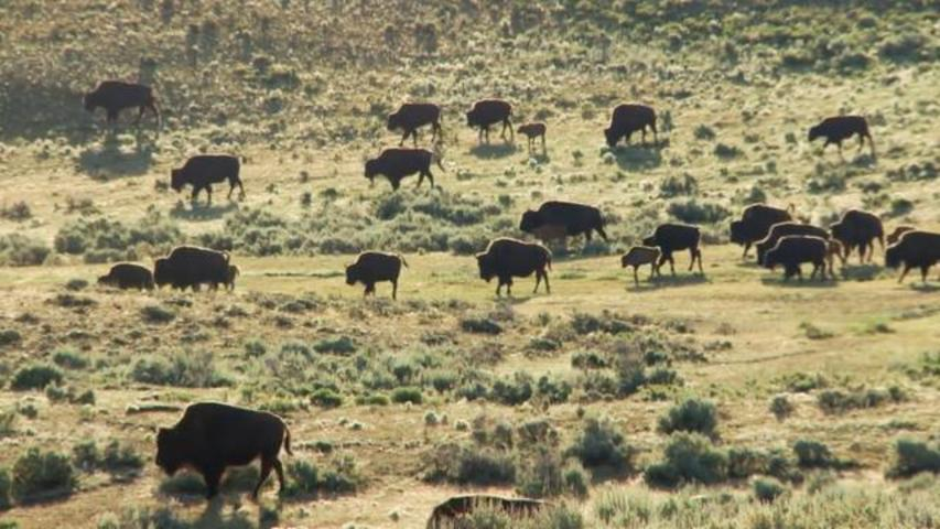 Bison Expected To Become America's National Mammal