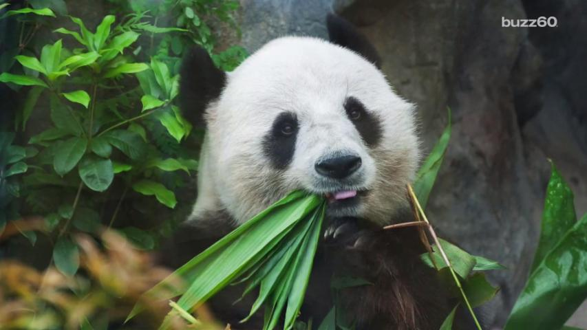 WWF Captures Rare Video of Male Pandas Courting Female