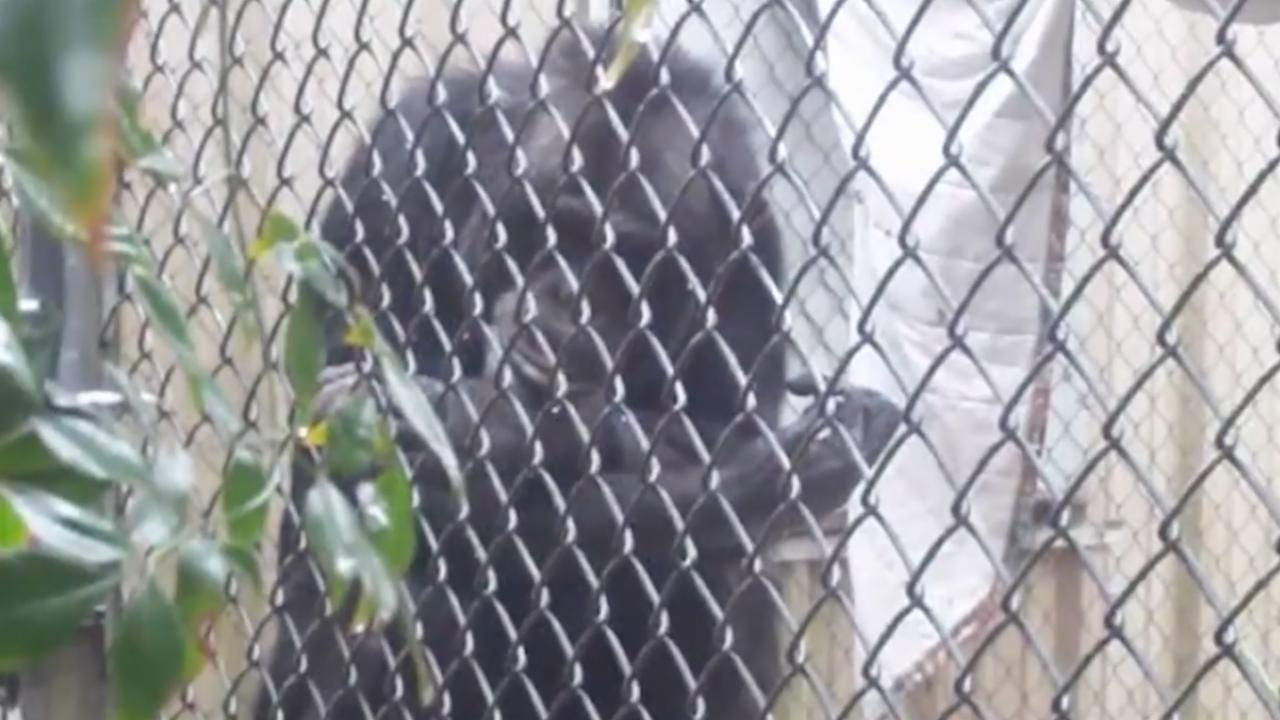 Chimp Living In 'Solitary Confinement' For Over 16 Years Released To Sanctuary