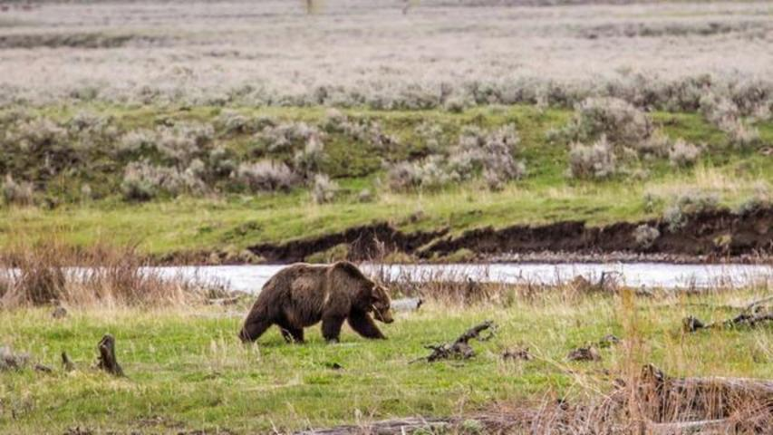 Fatal Shooting Of Yellowstone's Most Well-Known Bear 'Scarface' Investigated