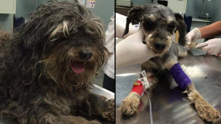 Abused Heavily-Matted Dog Receives Badly Needed Care