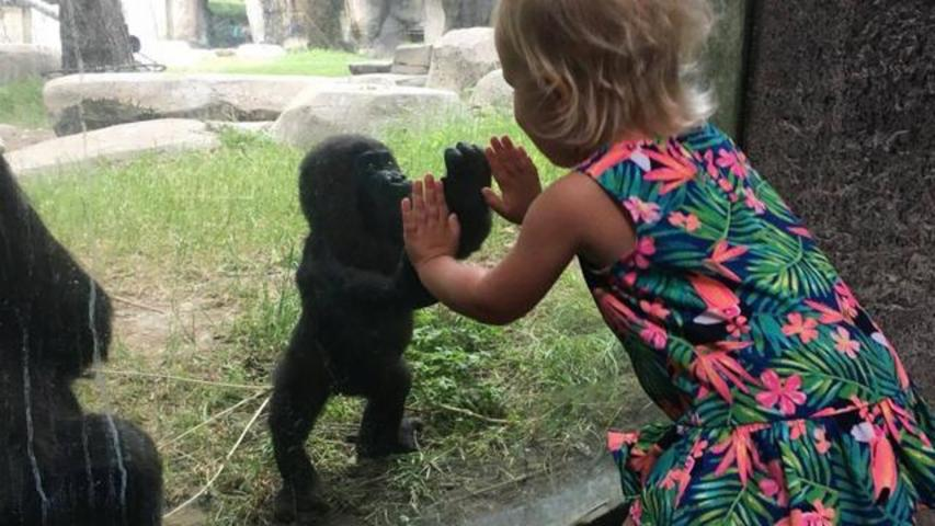 2-Year-Old Girl And Baby Gorilla Share Heartwarming Moment At Fort Worth Zoo