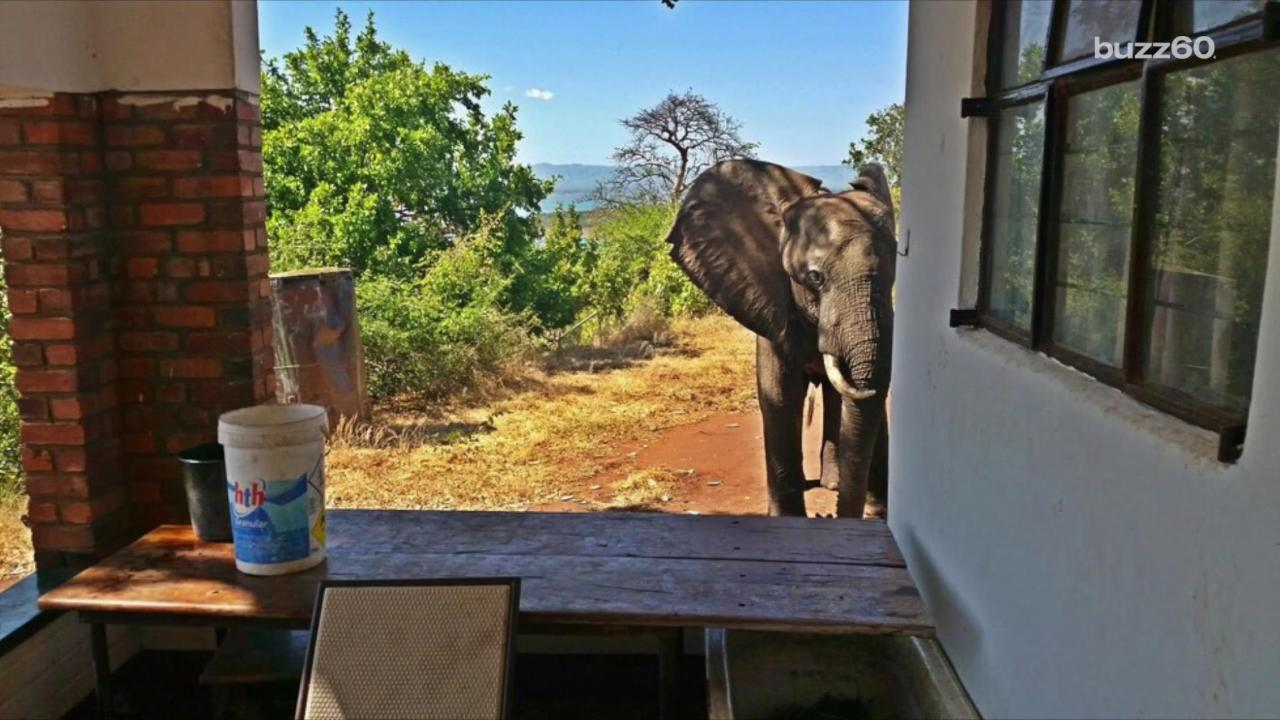 Injured Elephant Seeks Out Humans for Help