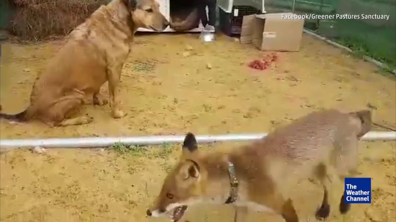 Dog is NOT Amused by this Fox