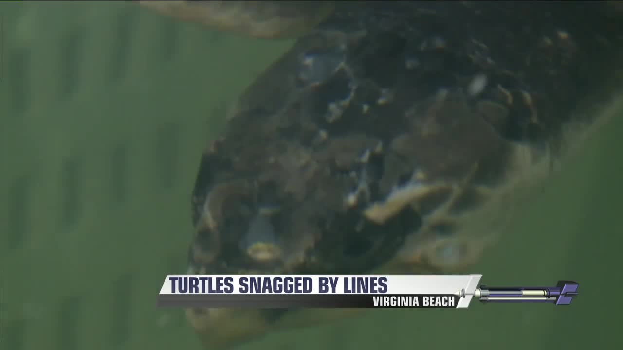 Sea Turtles Recovering At Aquarium After Being Hooked By Fishing Lines