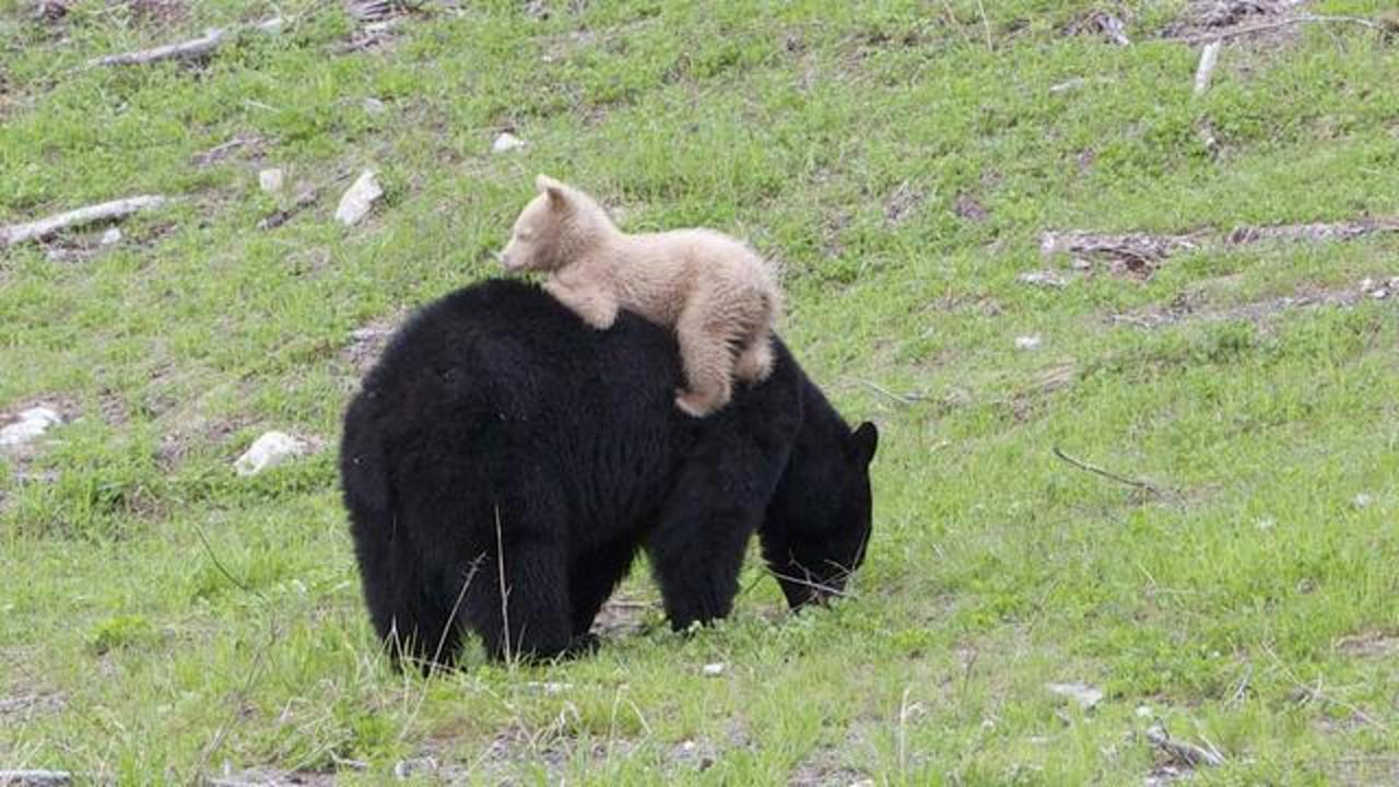 Black Bear Cub With Creamy White Coat Baffles Scientists