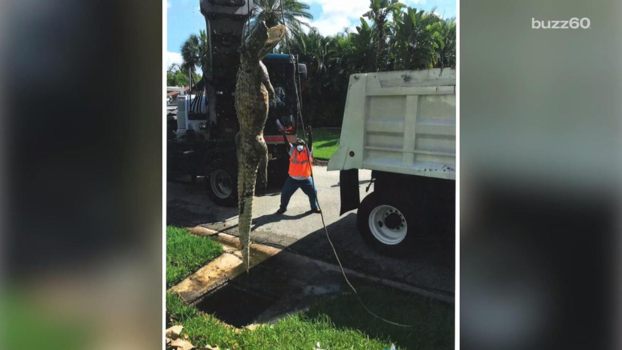 11-Foot Gator Clogs Neighborhood Drain