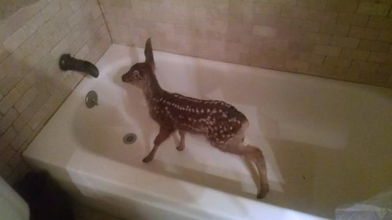Fawn Wanders into a Home and Hops in the Bathtub