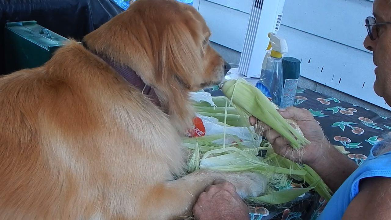 Golden Retriever Absolutely Loves Corn