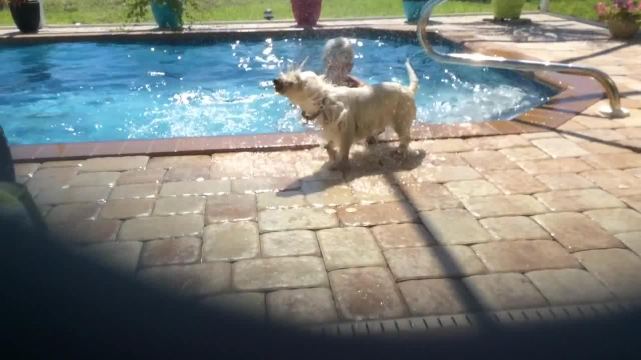 Water-loving Westie refuses to exit pool