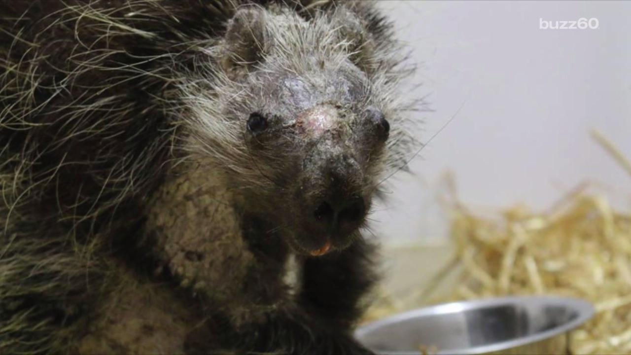Porcupine Who Lost His Quills Goes Back Home