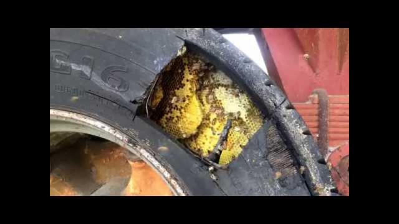 Beekeeper Safely Removes Bee Colony From Trailer Tire