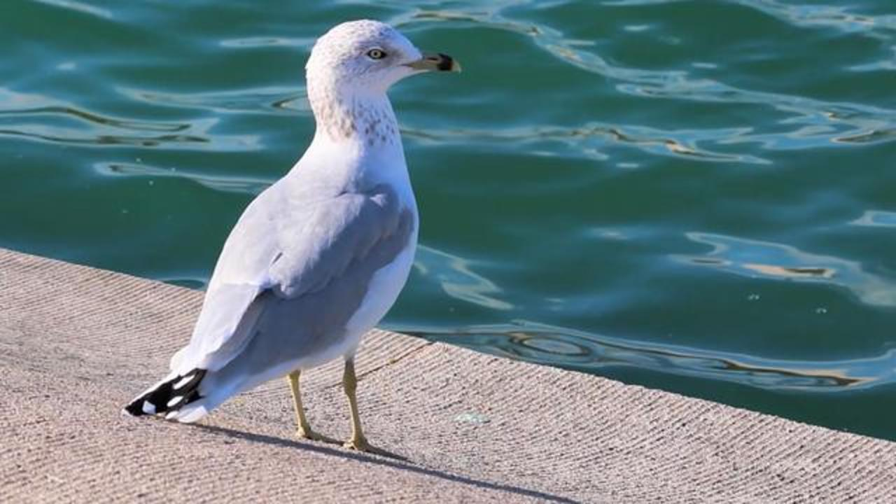 Seagulls Found Carrying Dangerous Superbug